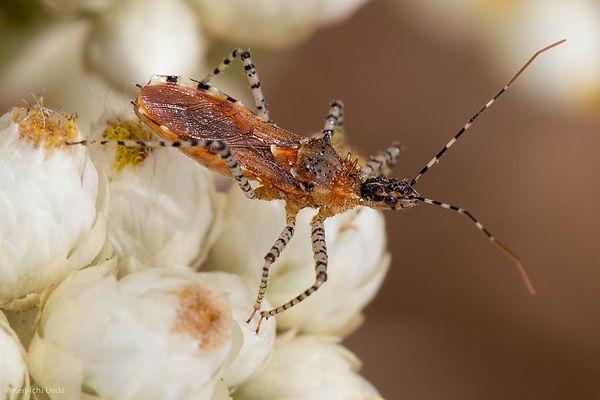 Spine-Collared Assassin Bug (Pselliopus