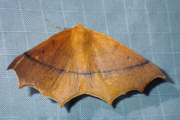 Geometrid moth.jpg