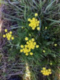 Lomatium urtriculatum BIscuit root.jpg