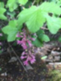 Ribes sanguineum var. glutinosum.jpeg