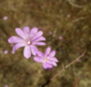 willow herb close up.jpg