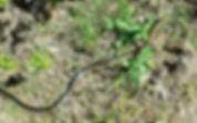 whipsnake 1 head up.jpg