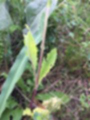 Senecio aronicoides leaves.jpeg