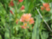 Calisteja affinis pale.jpg