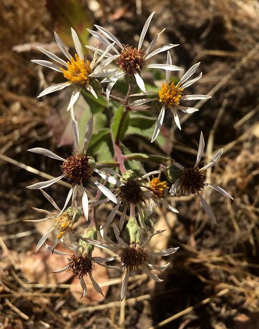 Symphyotrichum chilense.jpg