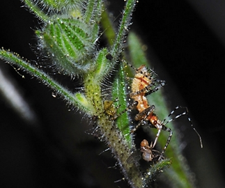 tarweed fruit fly spiny assasin bug.png