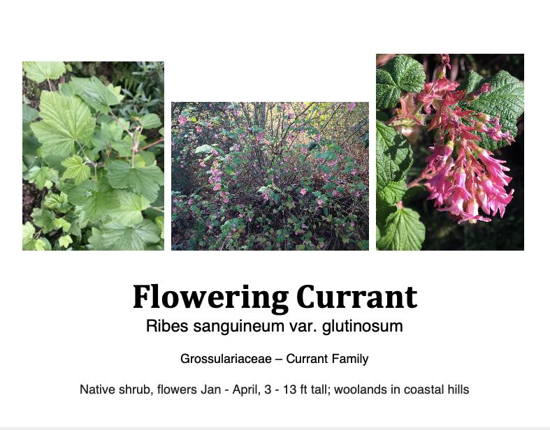 Ribes Sangineum flashcard.png
