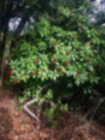 Heteromeles arbutifolia Toyon.jpeg