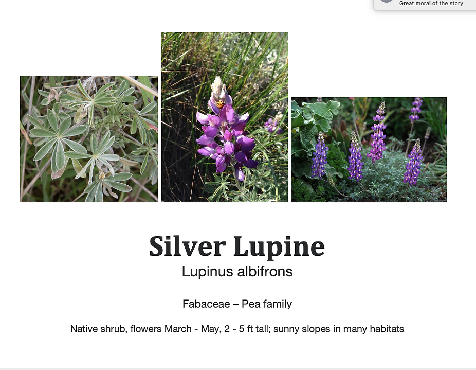 Lupinus albifrons flashcard.png