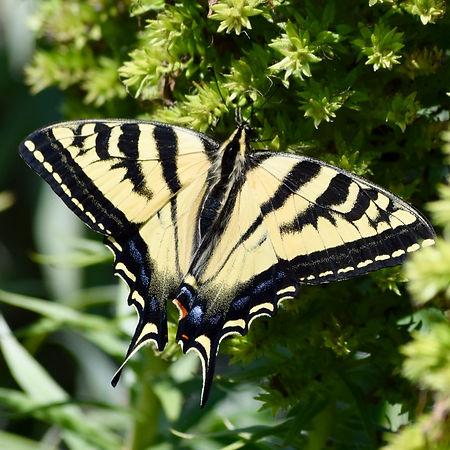 western tiger swallowtail inat.jpg
