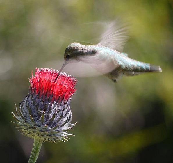 hummingbird on CIrcium occidentais venus