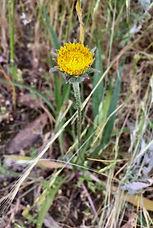 Agoseris grandiflora flower.jpeg