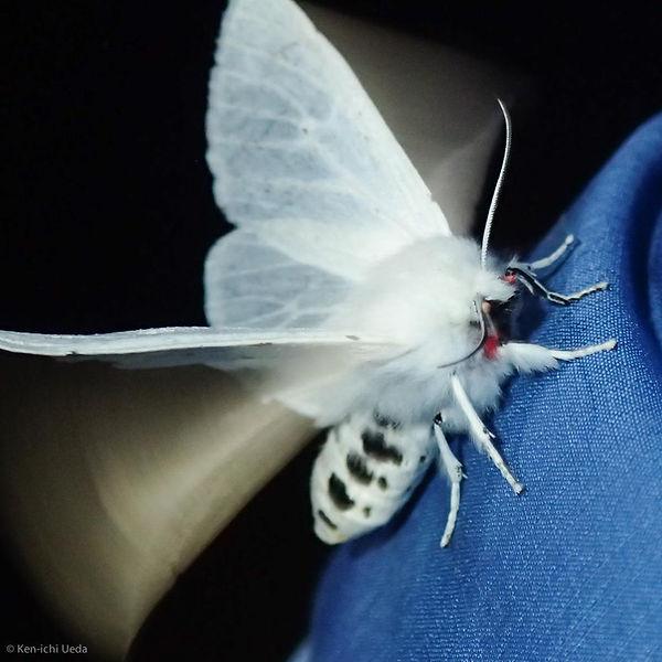 Vestal tiger moth.jpg