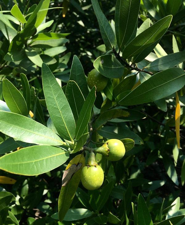 Umbellularia californica fruit Californi