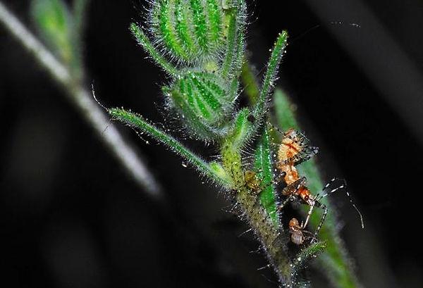 Fruitfly on Coastal tarweed.jpg