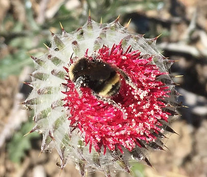 yellow faced bee and cobweb thistle cut.