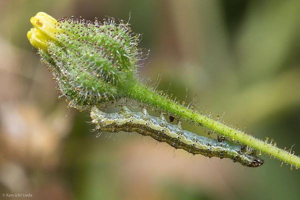 Coast tarweed with caterpillar.jpg