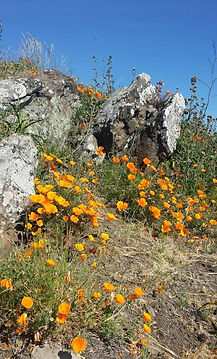 caliornia poppy on Barberry peak.jpg