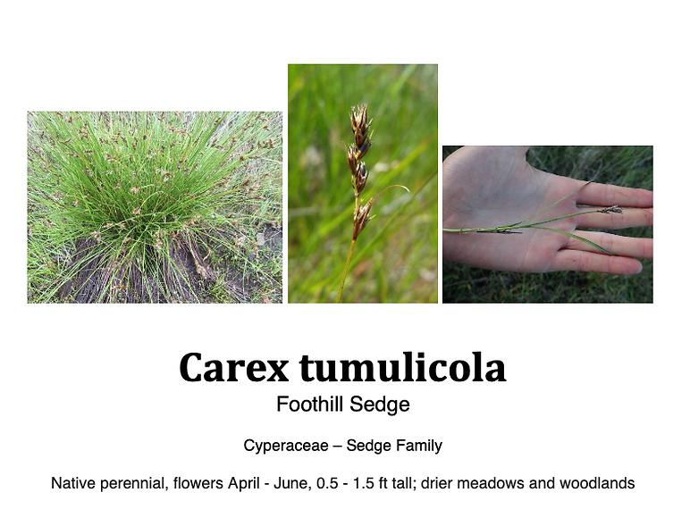Carex tumulicola.png