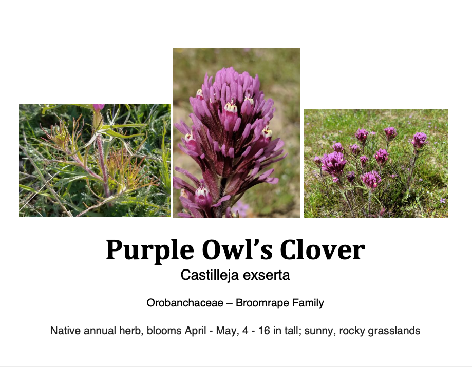 Purple owl clover flashcard.png
