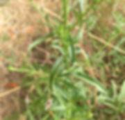 Aster chilensis leaves.jpg