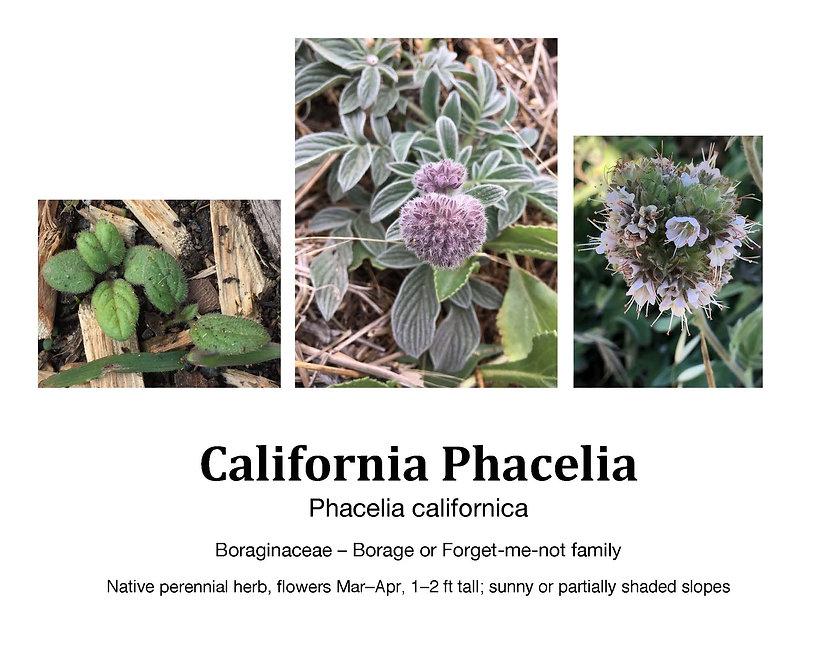 Phacelia californica flashcard.jpg