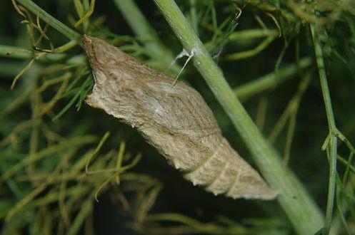 Pale swallowtail chrysalis.jpg