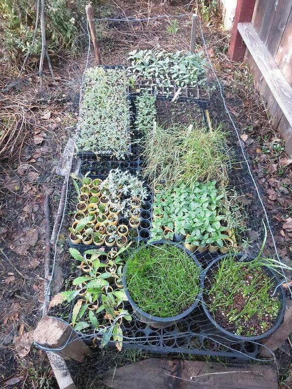 seedlings in Glens nursery.jpg