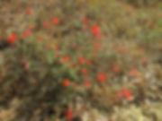 bright red epilobium canum.jpg