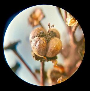 20x seed cluster ceanothus oliganthus.jp
