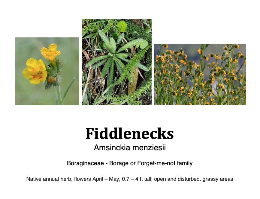 Fiddleneck flashcard.png