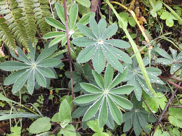 Lupinus succulentus leaves.jpeg