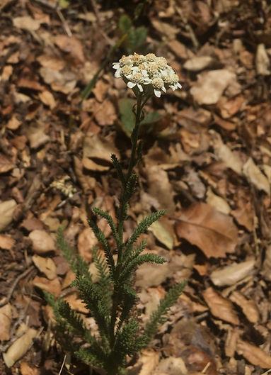 Achillea millefolium flower.jpg
