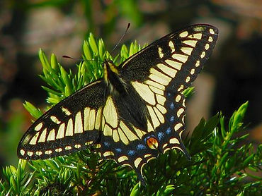 Parsley Swallowtail Papilio zelicaon.jpg