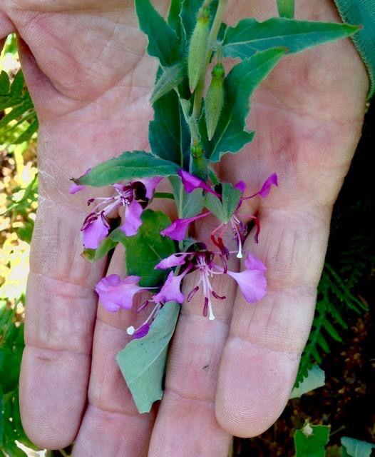 Clarkia unguiculata.jpeg