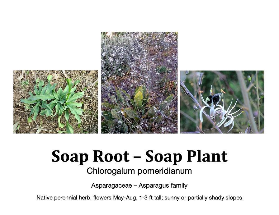 Soap Root flashcard.jpg