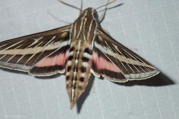Sphinx moth.jpg