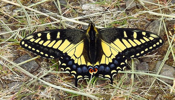 Parsley Swallowtail inat.jpg