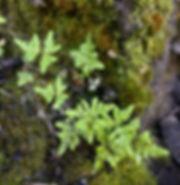 Pentagramma triangularis subsp. triangul