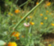 California poppy Eschscholzia californic