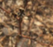 Chloragalum pomeridian Soaproot seed pod