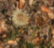 Erigeron petrophilus rock fleabane.jpg