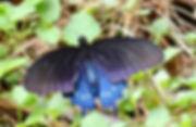 Pipevine swallowtail.jpg