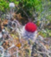 close up of CIrcium occidentais venustus