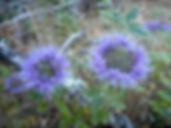 Monardella villosa Coyote mint.jpg