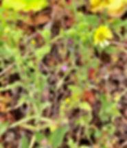 Madea gracilis.jpeg
