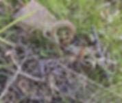 bracken fern fidlle heads.jpeg