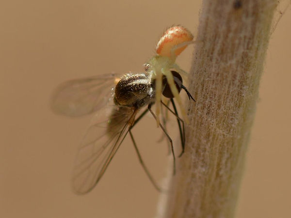 yellow Crab spider eating fly.jpg