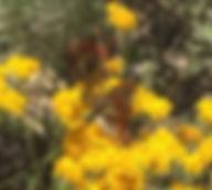 Checkerspot butterfly.jpeg