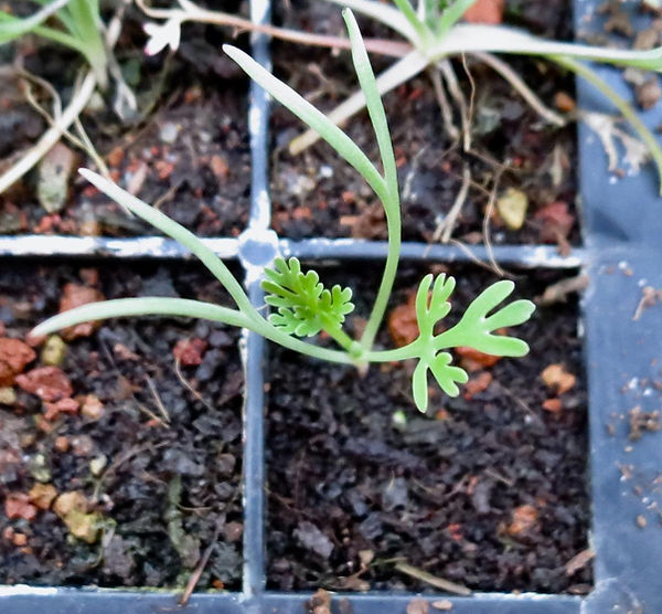 3 week old poppy.jpg